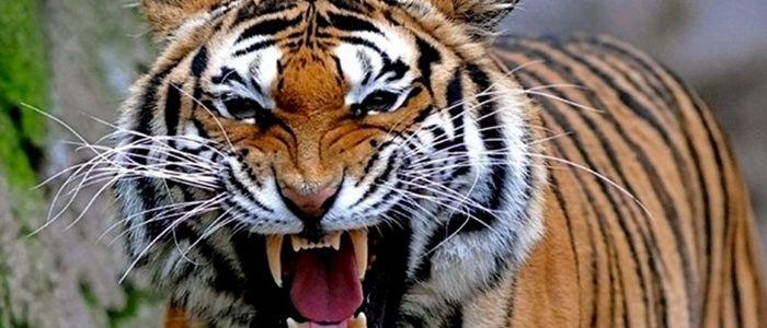 निकुञ्जलाई बाघ नियन्त्रणमा लिन भयो सकस